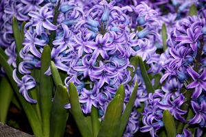 Purple and Blue Hyacinths